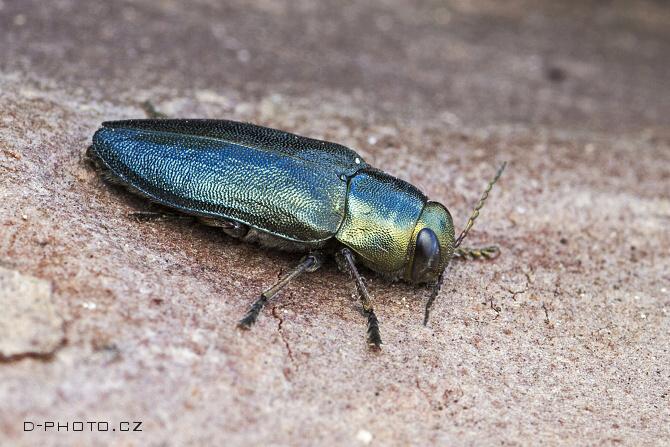 krasec (phaenops cyanea)