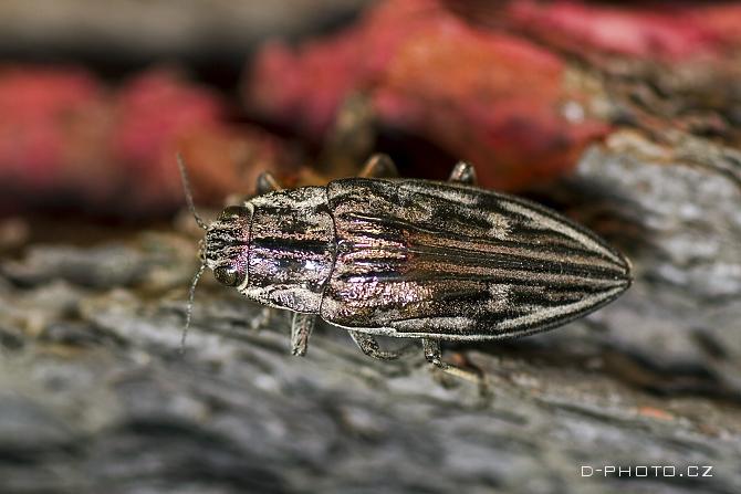 krasec měďák (chalcophora mariana)