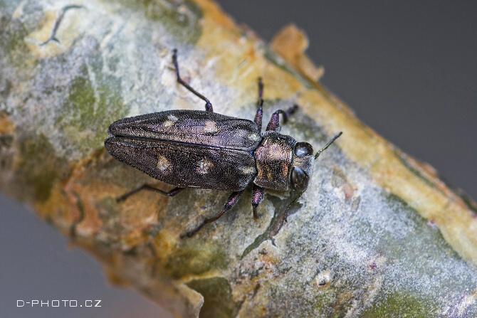 krasec (chrysobothris igniventris)
