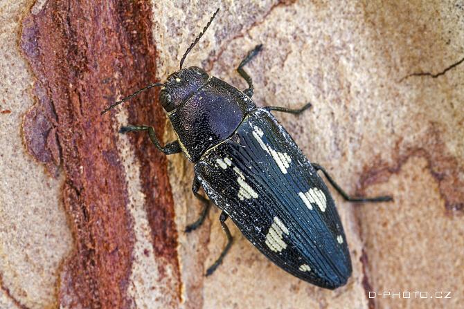 krasec (buprestis novemmaculata)