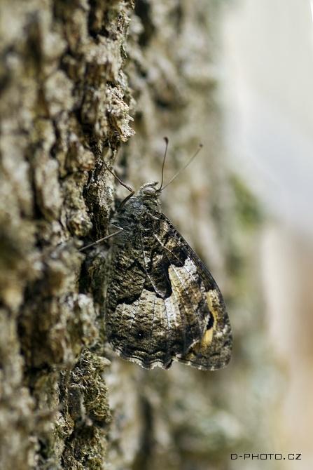 okáč medyňkový (hipparchia fagi)