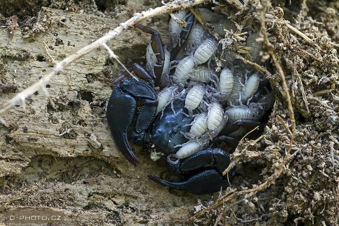 štír (euscorpius italicus)
