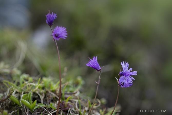 dřípatka sp. (soldanella sp.)