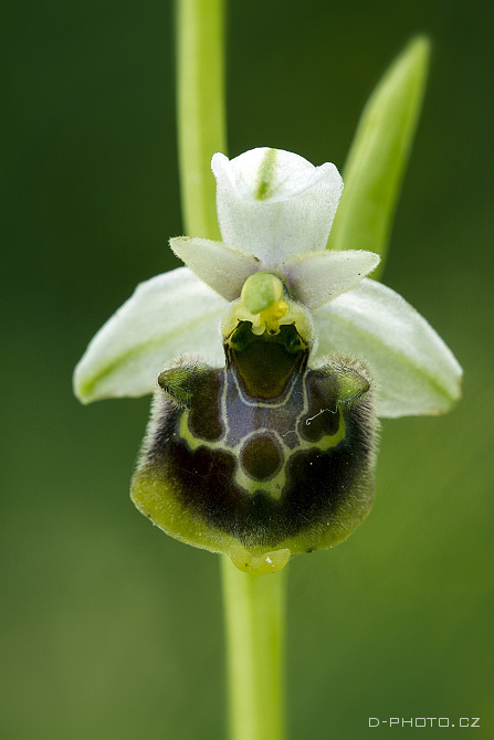 tořič ophrys holoserica (det. j. šmiták)