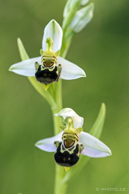 tořič ophrys apifera (det. j. šmiták)