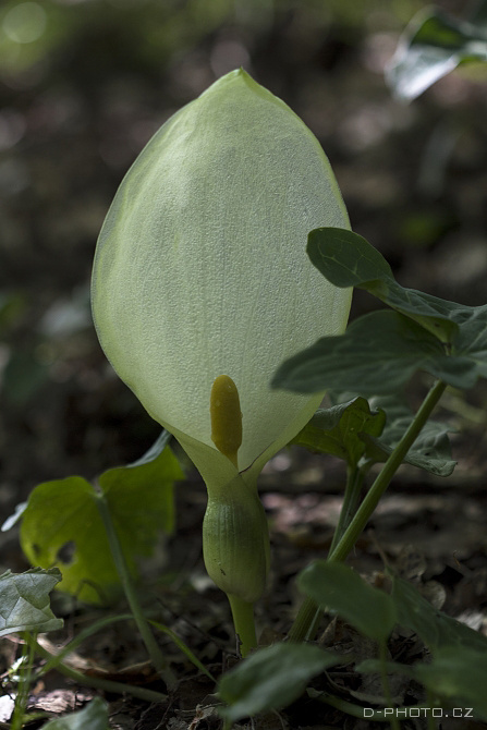 áron italský (arum italicum)
