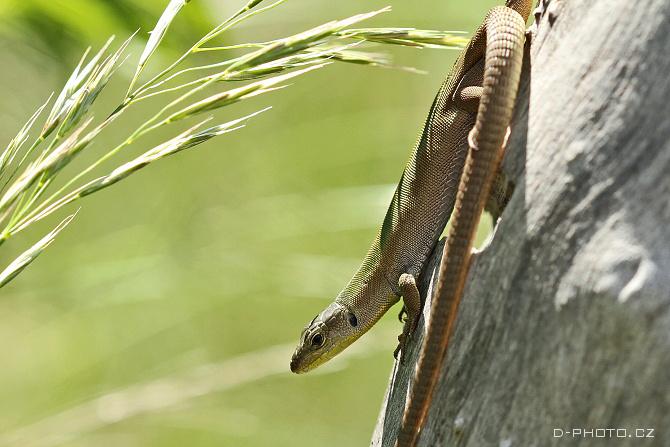 ještěrka jadranská (podarcis melisellensis)