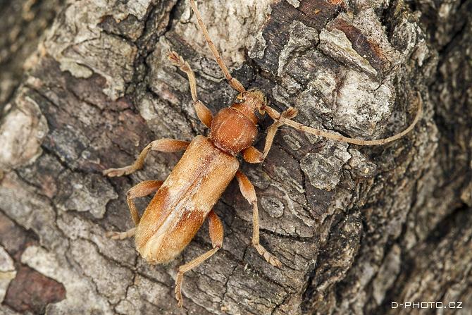 tesařík trichoferus pallidus ex larva