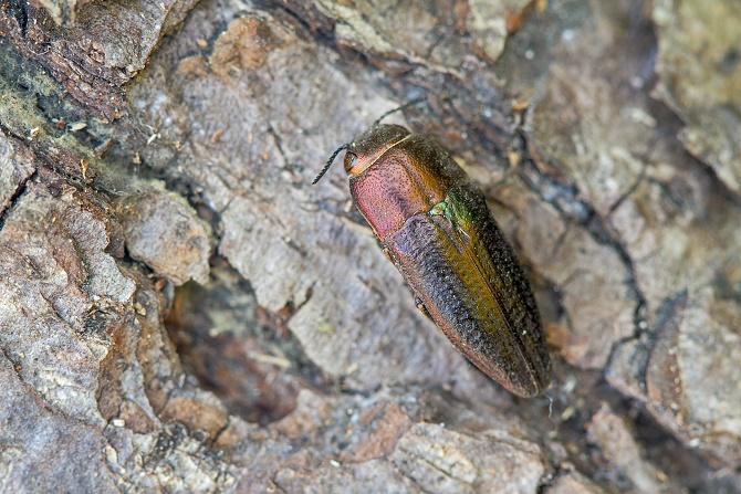 krasec (sphenoptera antiqua)