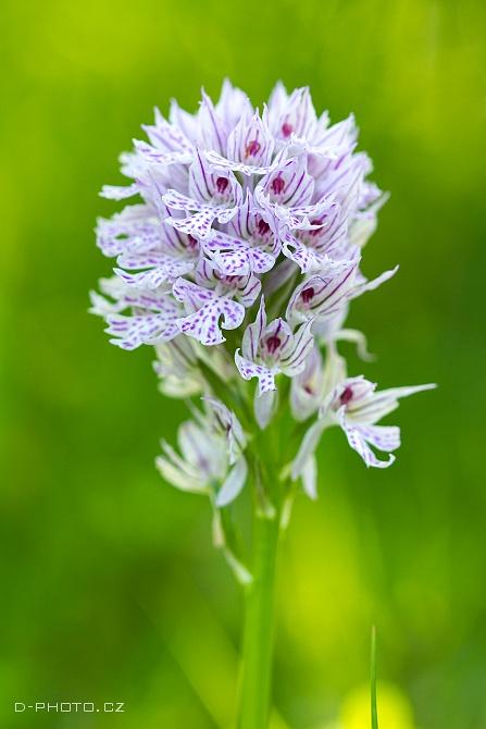 vstavač trojzubý (orchis tridentata)