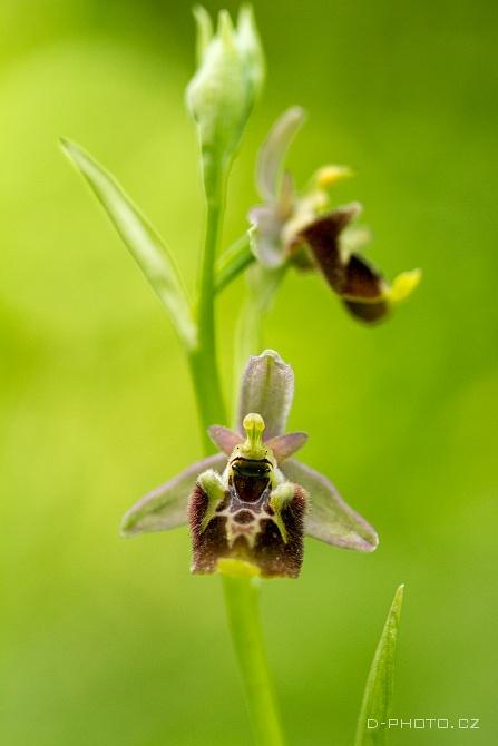 tořič ophrys holoserica