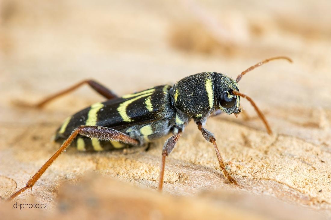 tesařík (Xylotrechus arvicola) ex larva