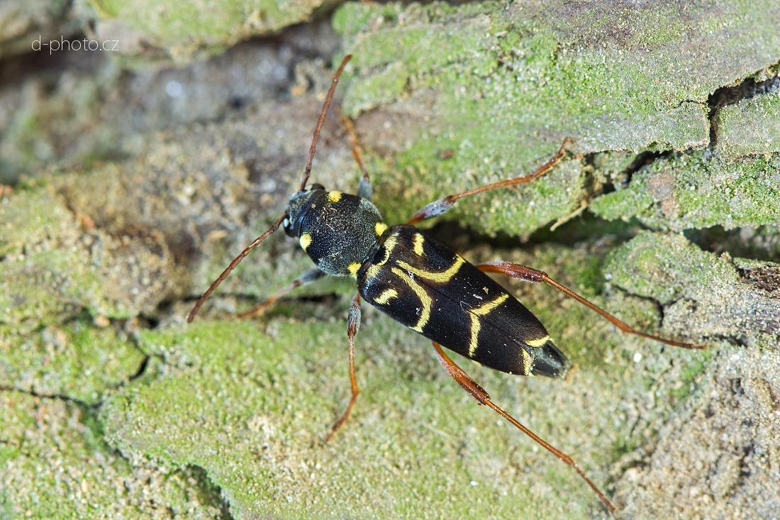 tesařík (Xylotrechus antilope) ex larva