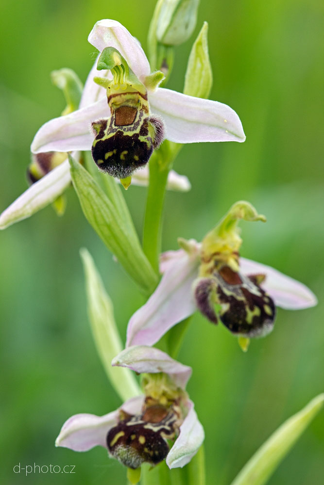 tořič (Ophrys holoserica)