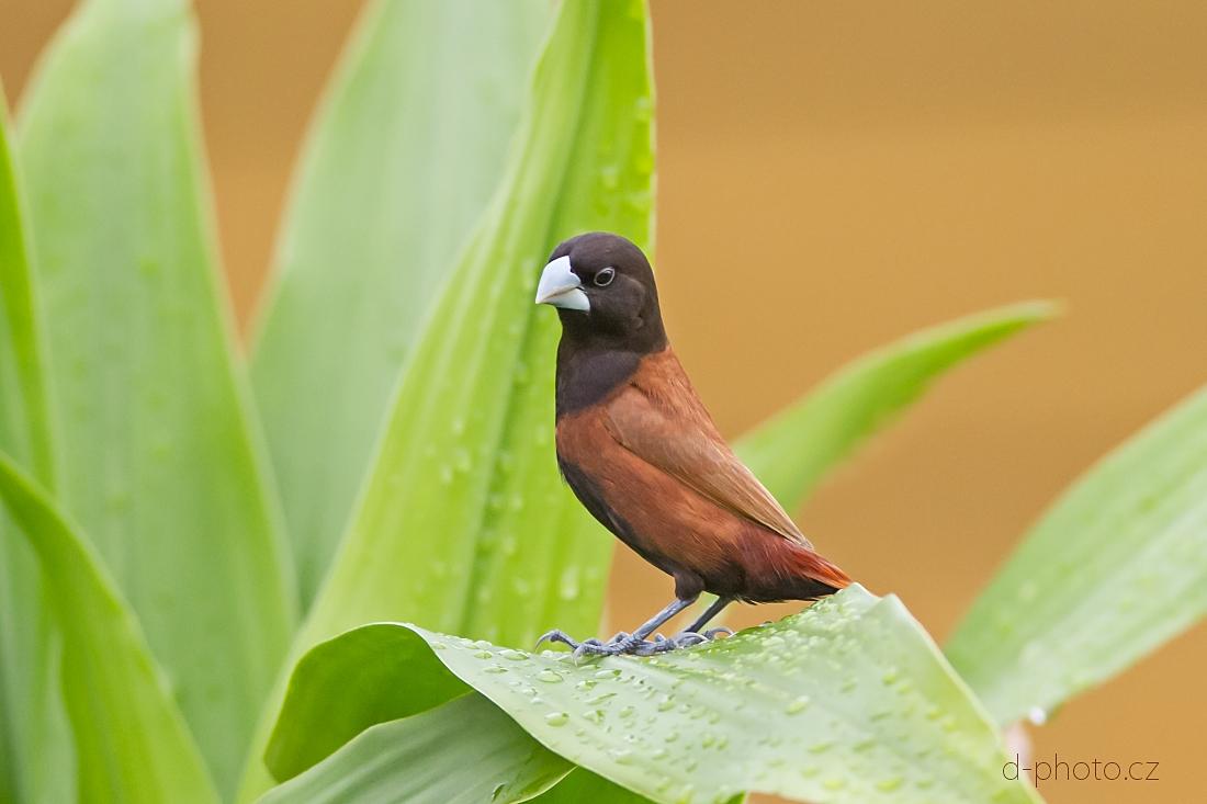 panenka černohlavá (Lonchura atricapilla)