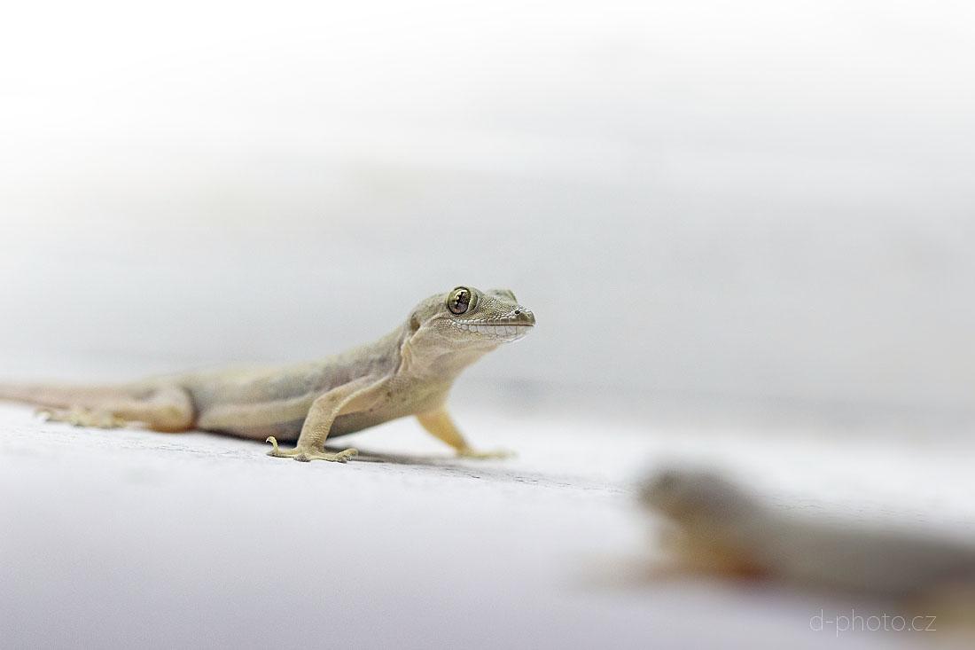 gekon (Hemidactylus frenatus)