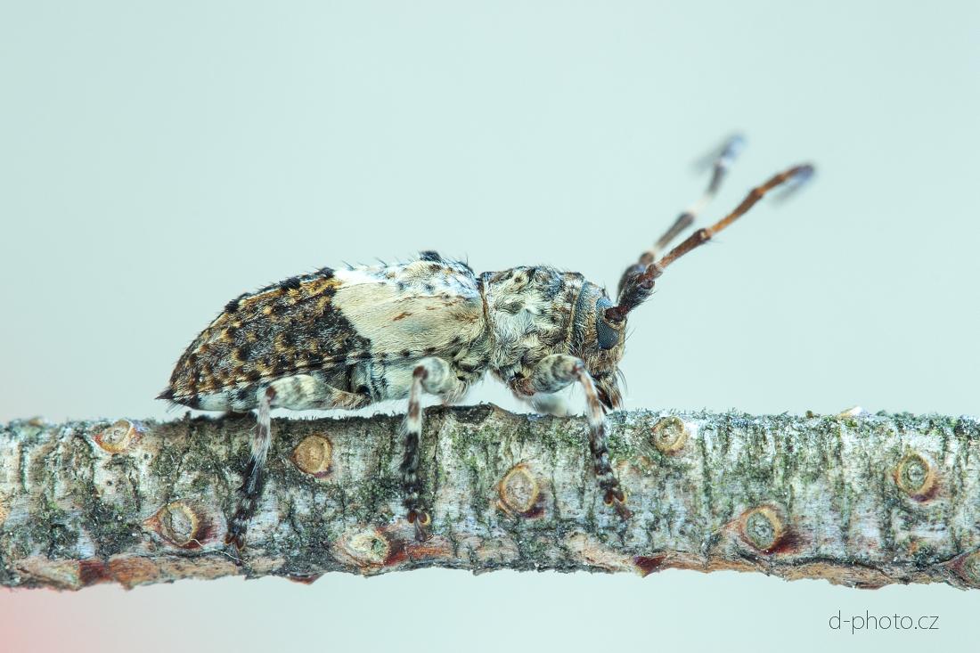 tesařík (Pogonocherus eugeniae) ex larva