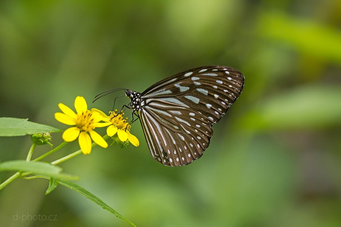 monarcha (Parantica sp.)