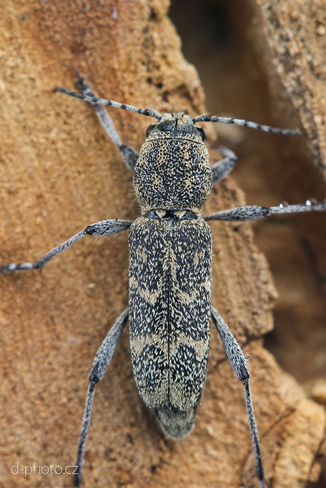 tesařík (Xylotrechus pantherinus) ex larva