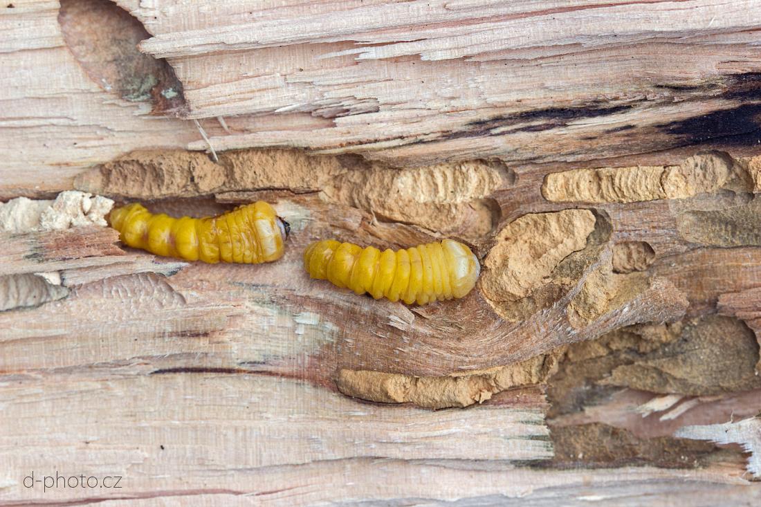 tesřík (Xylotrechus arvicola) - larva