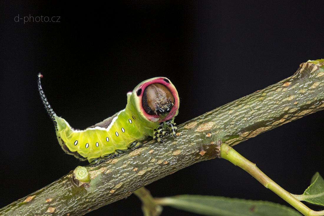 hranostajník vrbový (Cerura vinula) - housenka