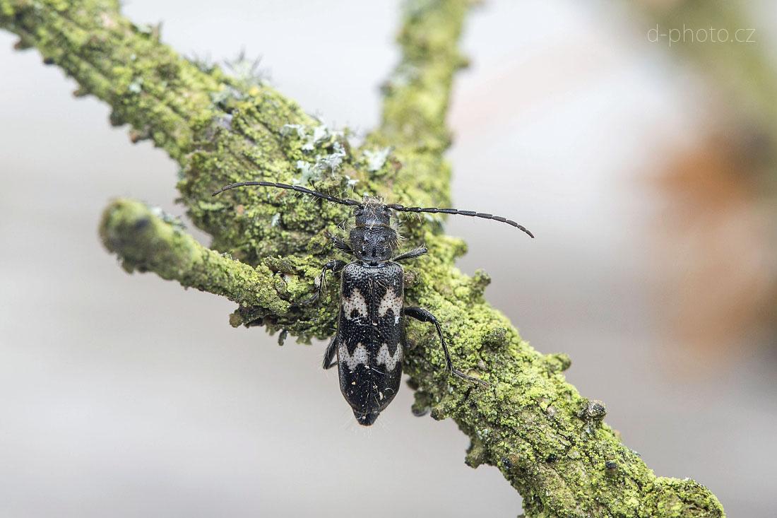 tesařík (Semanotus undatus)