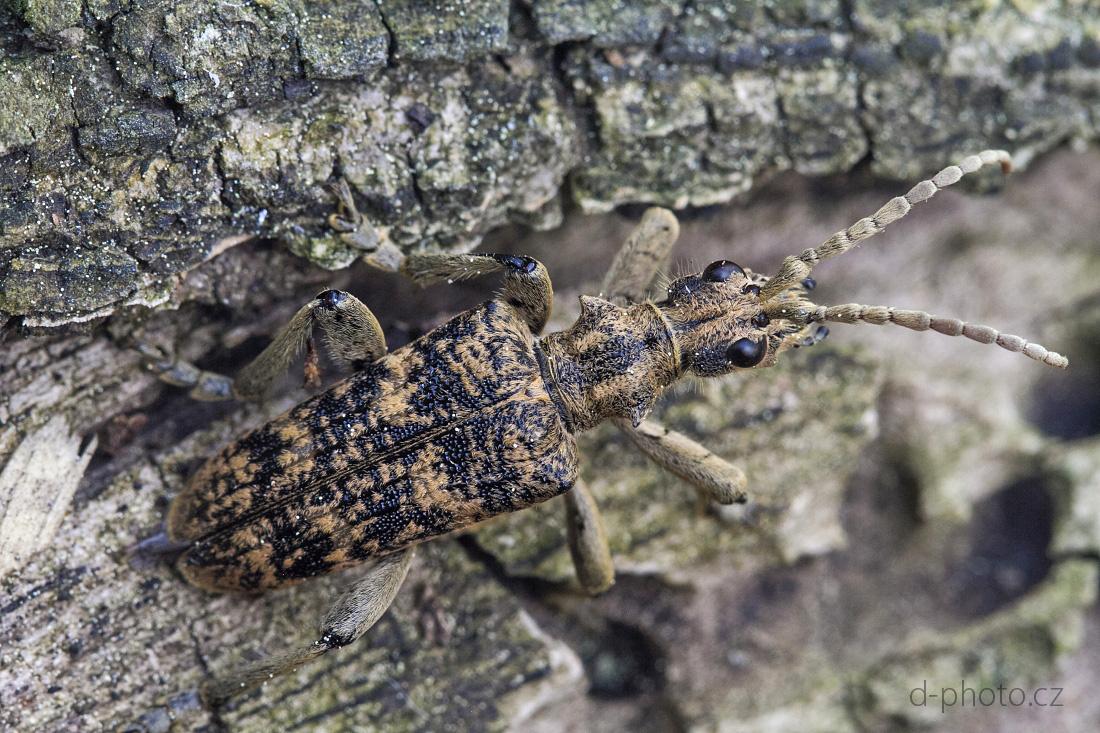 tesařík (Rhagium sycophanta)