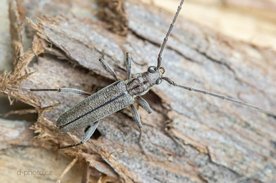 teařík (Icosium tomentosum ssp. atticum) ex larva