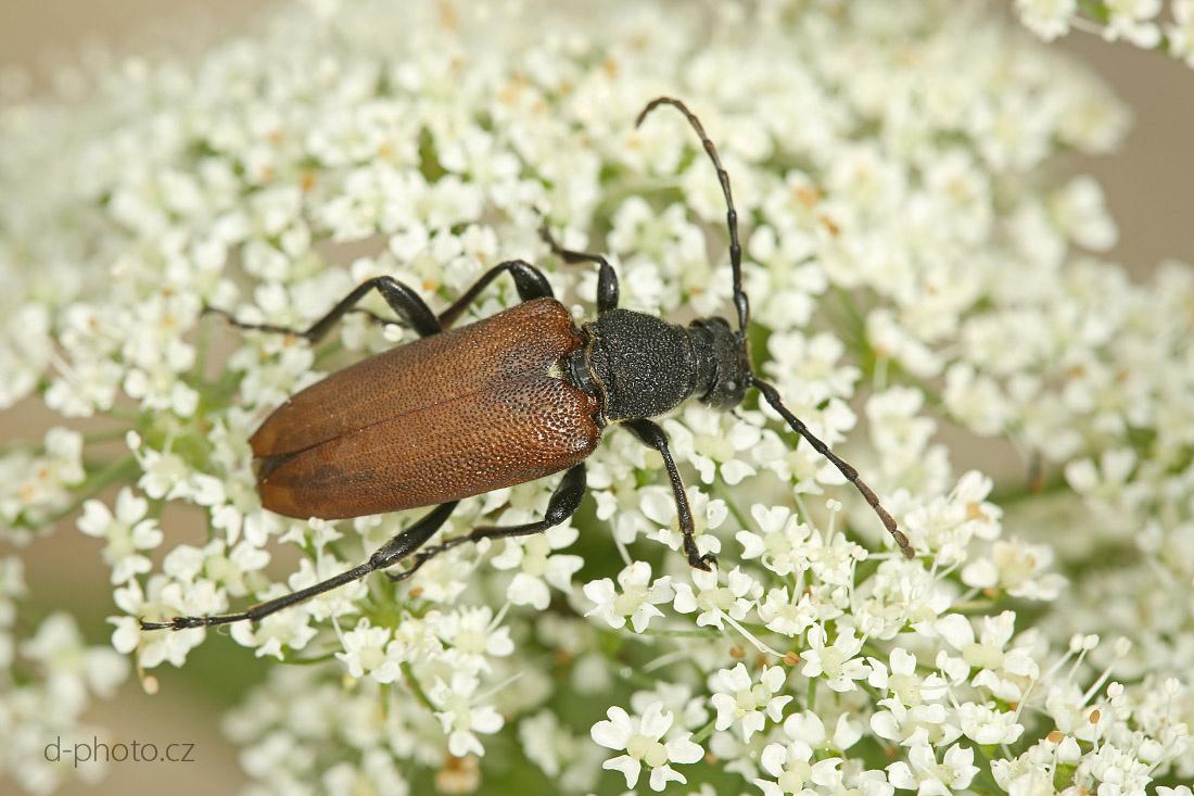 tesařík (Stictoleptura scutellata)