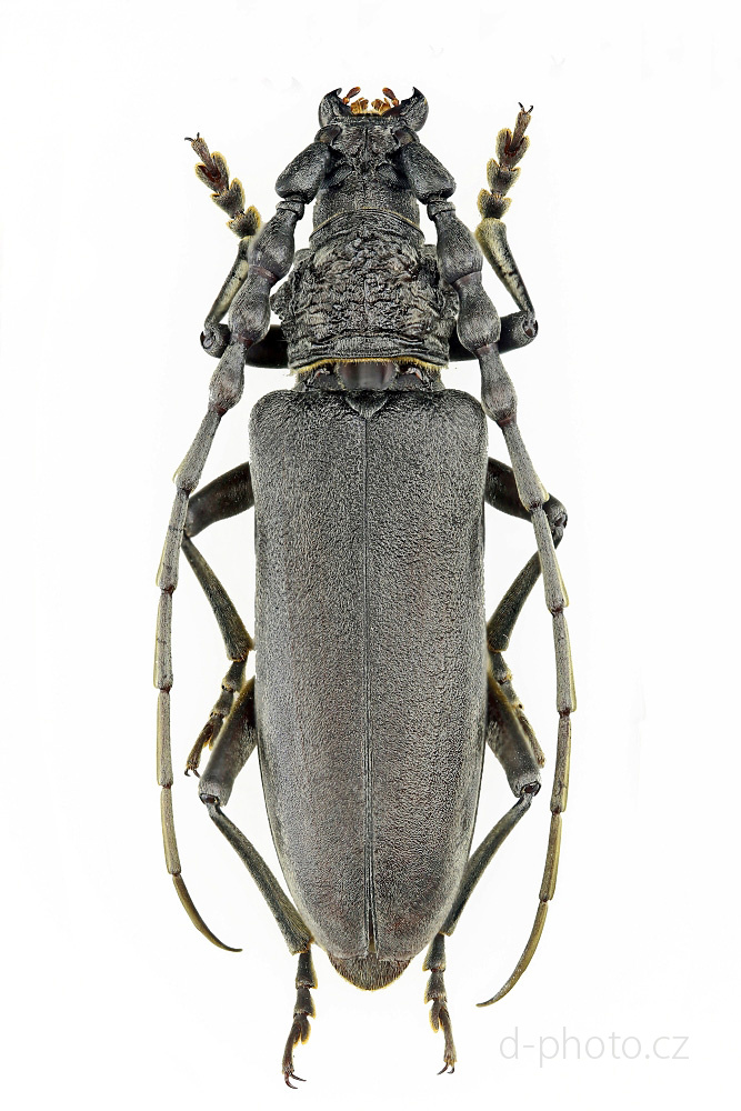 tesařík (Cerambyx carinatus)