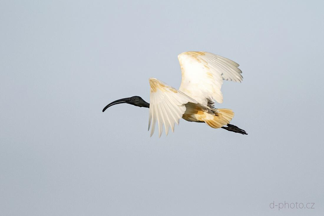 ibis (Threskiornis melanocephalus)