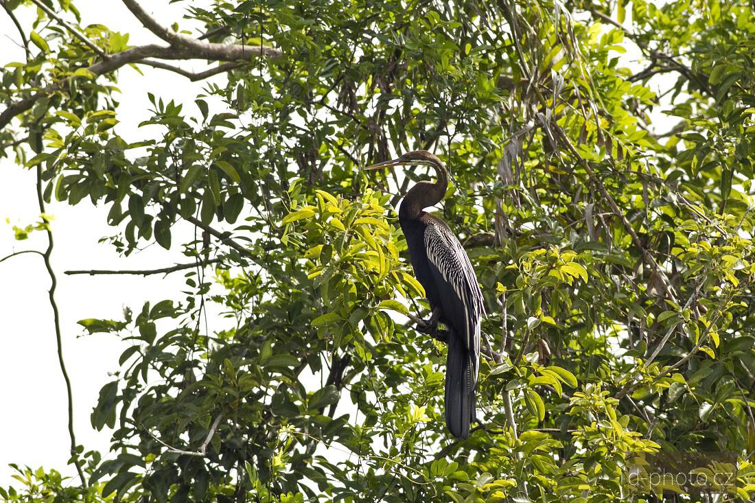 kormorán (Anhinga melanogaster)