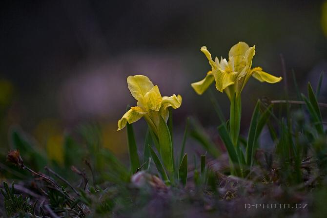 kosatec skalní písečný (iris humilis ssp. arenaria)