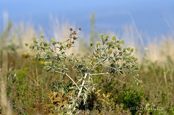 máčka ladní (eryngium campestre)
