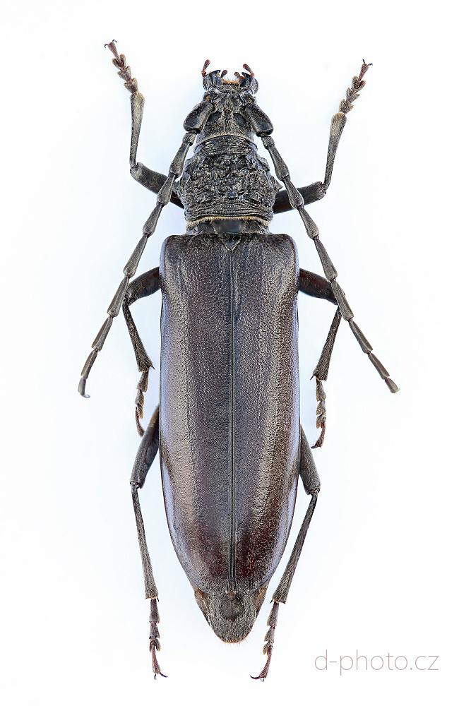 tesařík (Cerambyx welensii)