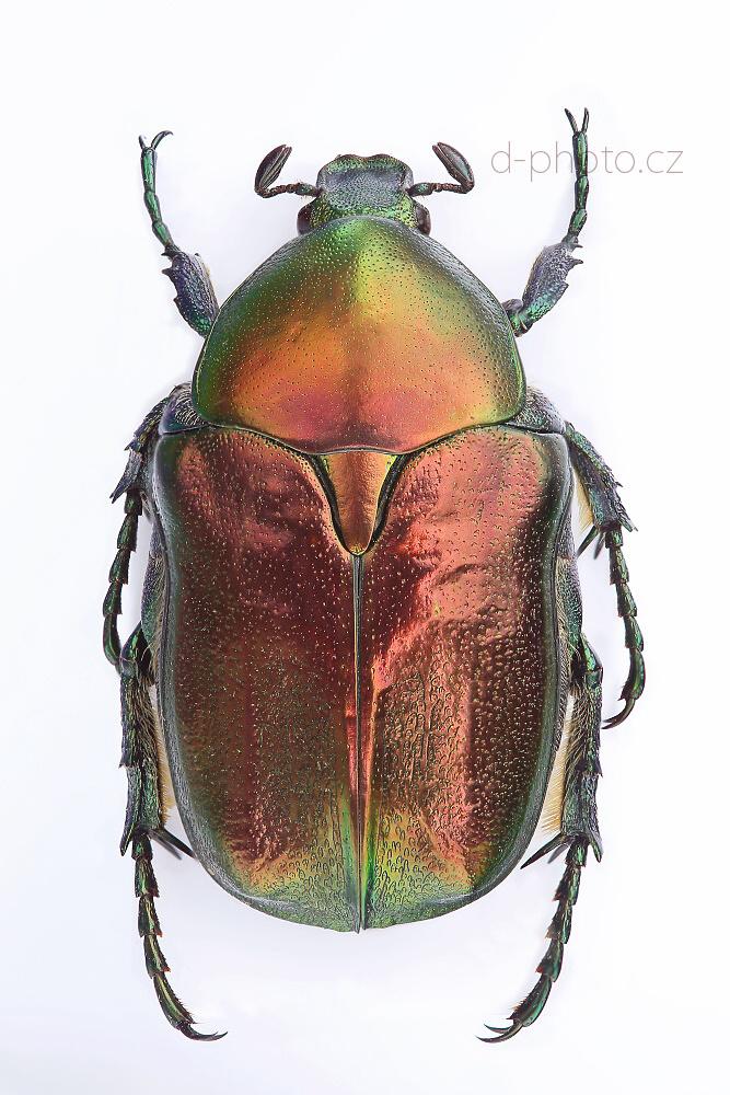 zlatohlávek (Potosia angustata)