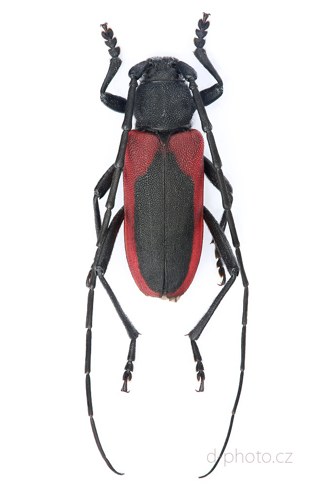 tesařík broskvoňový (Purpuricenus kaehleri)