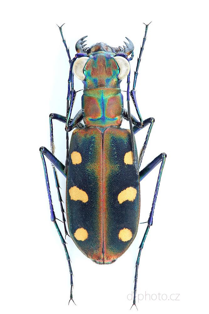 svižník Cicindela (Cosmodela) aurulenta