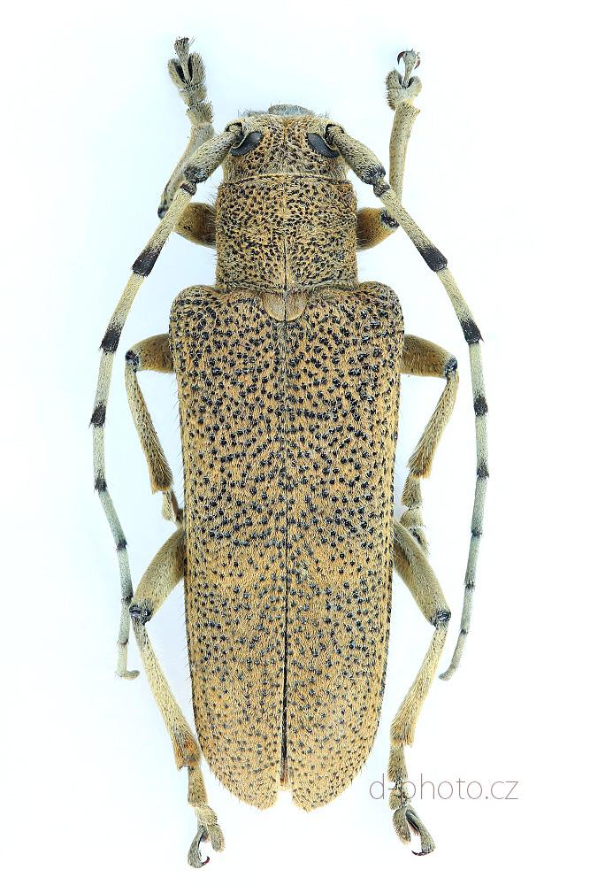 kozlíček osikový (Saperda carcharias) ex larva