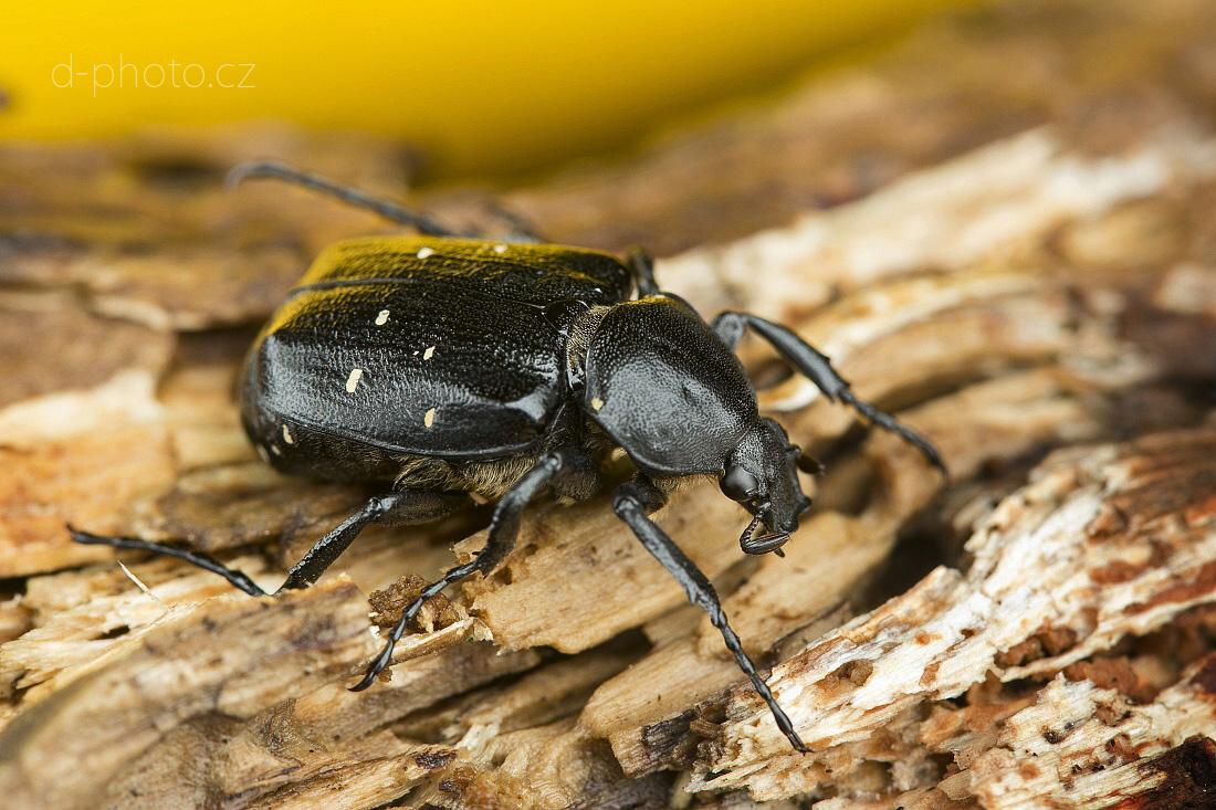 zdobenec (Gnorimus variabilis)