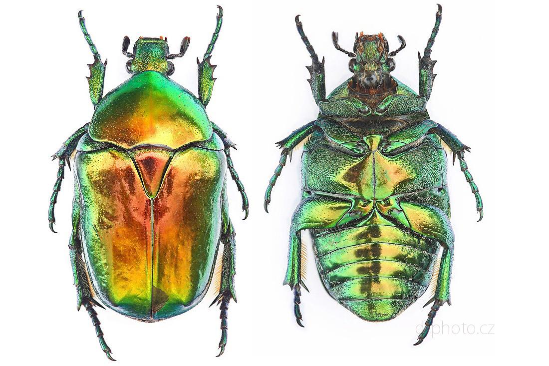 zlatohlávek Potosia aeruginosa