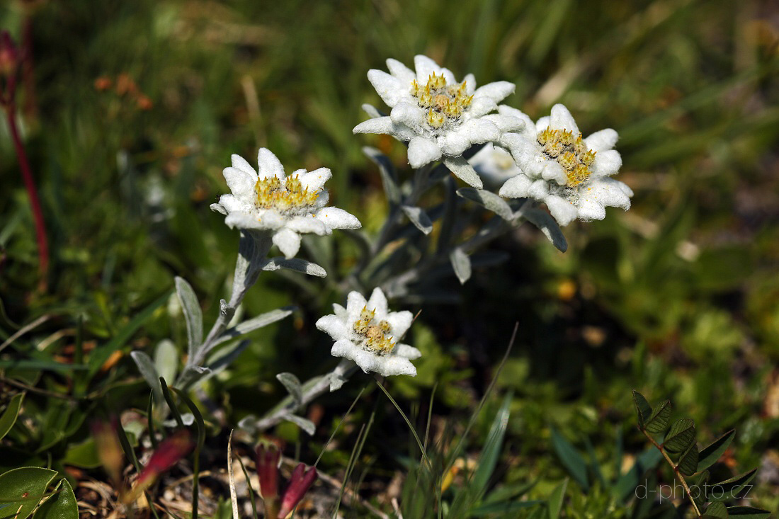 protěž alpská (Leontopodium alpinum)