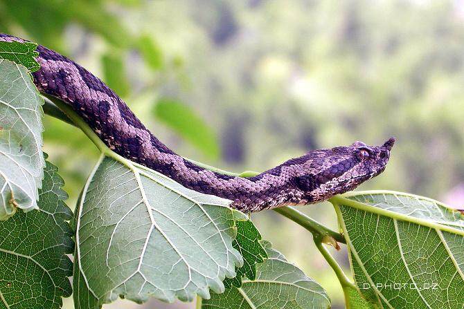 zmije růžkatá (vipera ammodytes)