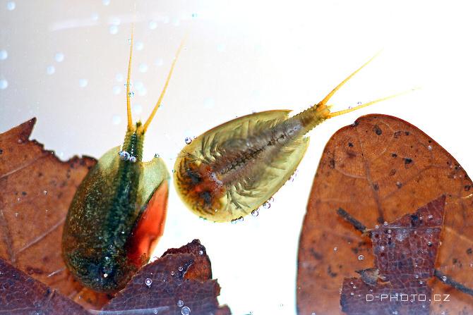 listonoh jarní (lepidurus apus)