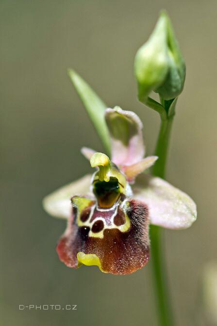 orchis fuciflora ssp. fuciflora (det. ing. j. šmiták)
