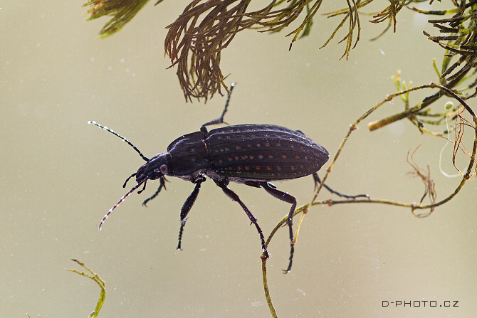 střevlík Carabus (Limnocarabus) clathratus ssp. auraniensis