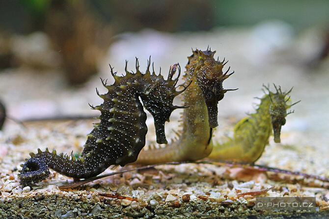 mořský koník (hippocampus guttulatus)