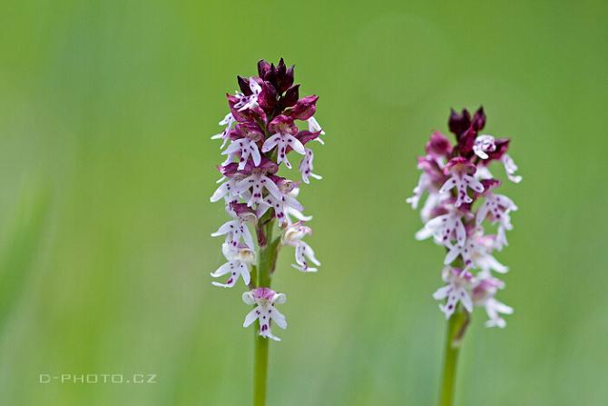 vstavač osmahlý (orchis ustulata)