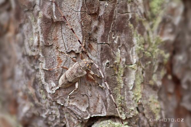 kozlíček dazule (acanthocinus aedilis)