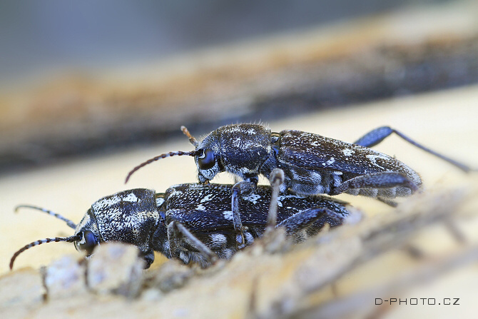 tesařík (xylotrechus rusticus)